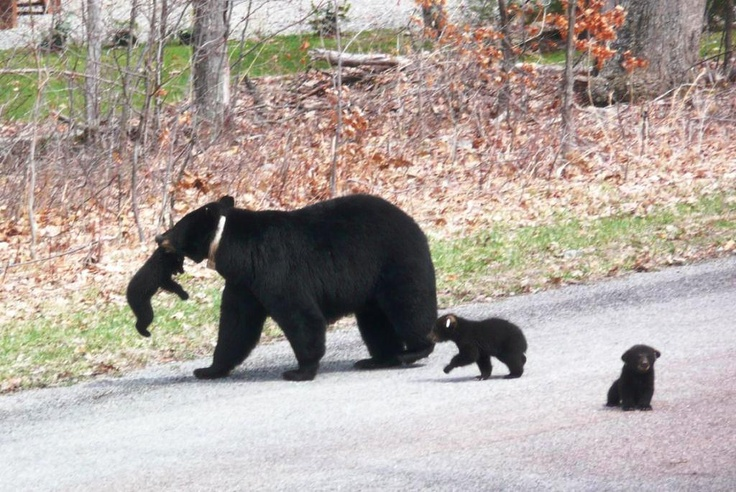 Momma Black Bear with her Cubs