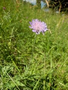 Knautie (maux de gorge, toux) et autres fleurs sauvages