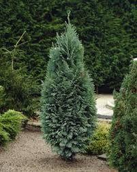 Blå cypress - Google-søk