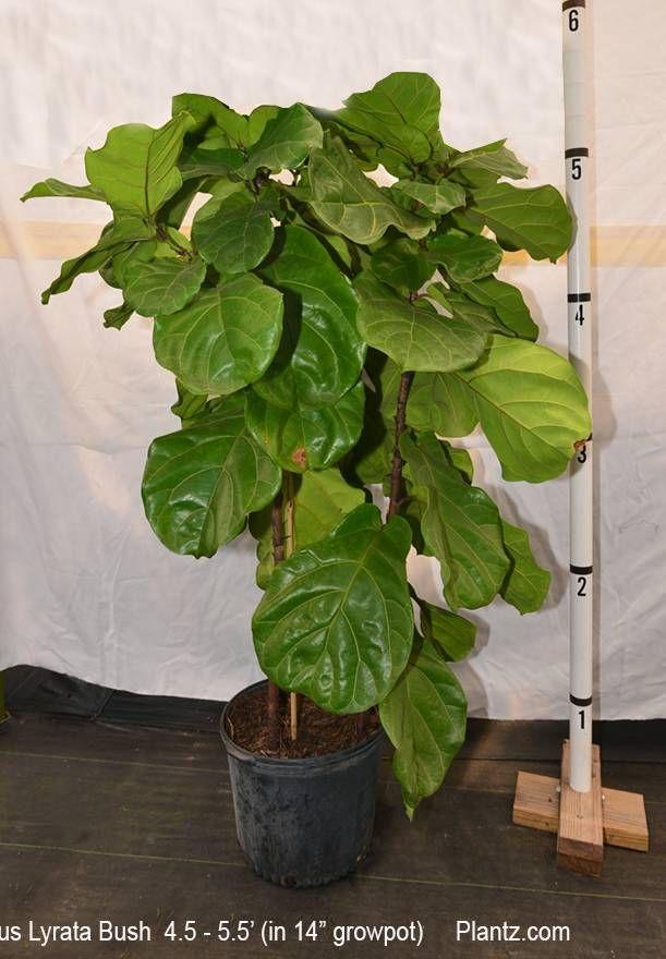Fiddle Leaf Fig Full Size Ficus Lyrata Plants For Sale Online
