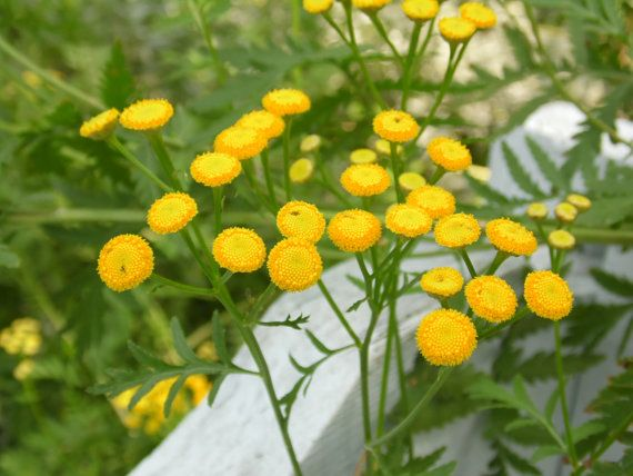 Tansy Yellow Common Tanacetum vulgare Seeds   by rusticpathgardens