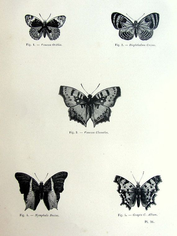 Gorgeous vintage butterfly print antique original by TheLyraNebula, $25.00