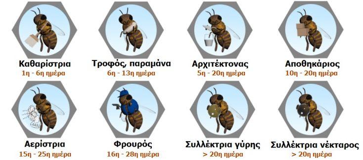 Η κατανομή εργασίας της εργάτριας μέλισσας ποικίλει ανάλογα με την ηλικία της.