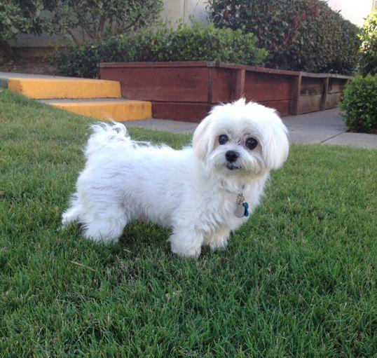 Meet Happy, the cutest maltese dog :)