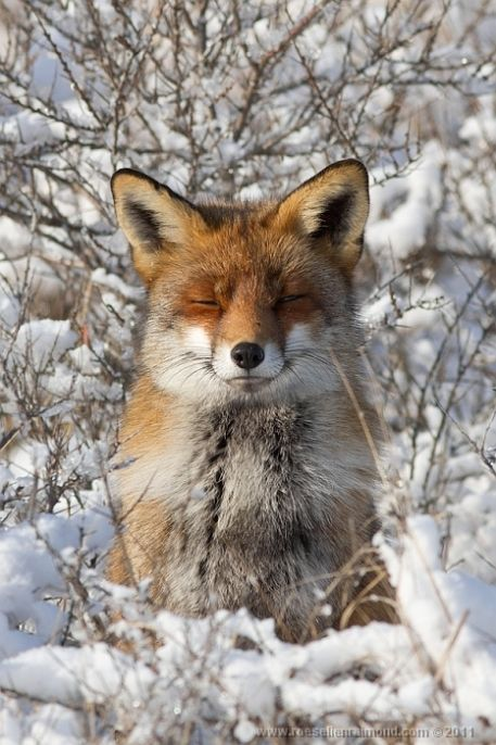 Rare Unique and Beautiful Shots of Red Fox (20)