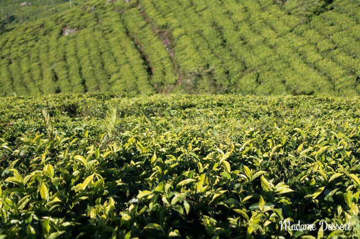 Alles über Anbau, Herstellung und Zubereitung von Schwarzem Ceylon #Tee aus Sri Lanka | Madame Dessert  #srilanka #ceylontea #tea #ceylon #sri lanka