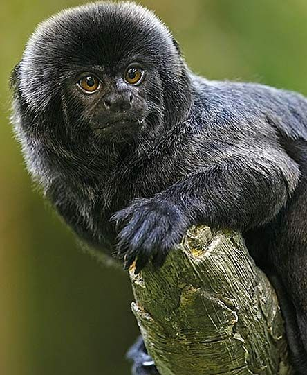 Geoldi's Marmoset (Goeldi's monkey or a callimico) is native to the upper Amazon Basin regions of Bolivia, Brazil, Colombia, Ecuador & Peru. A new world monkey they are usually black or dark-brown in color, with occasional red, white, or silver highlights on the head and tail. They have lengths 20 and 23 centimeters, and tails of about 25-30 centimeters. Considered vulnerable for extinction, this monkey is quite rare, and is often unseen because of its habit of foraging in dense undergrowth.