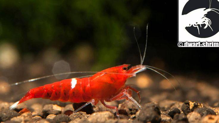 Zwerggarnelen Taiwan bees shrimp Red ruby HD