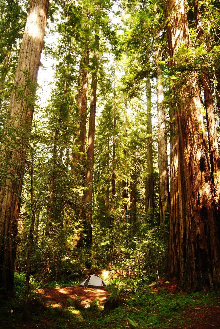 infiniteforests:  sleeping among the giant redwoods