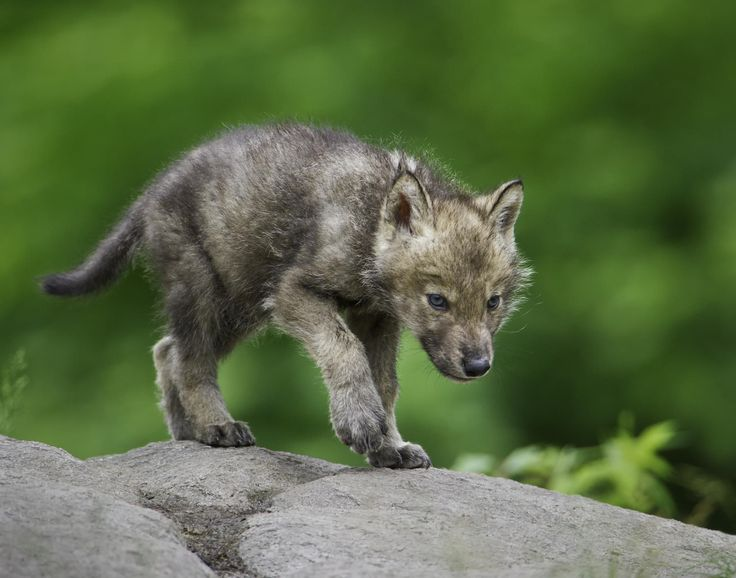 Wolf pup on the Move. - Imgur