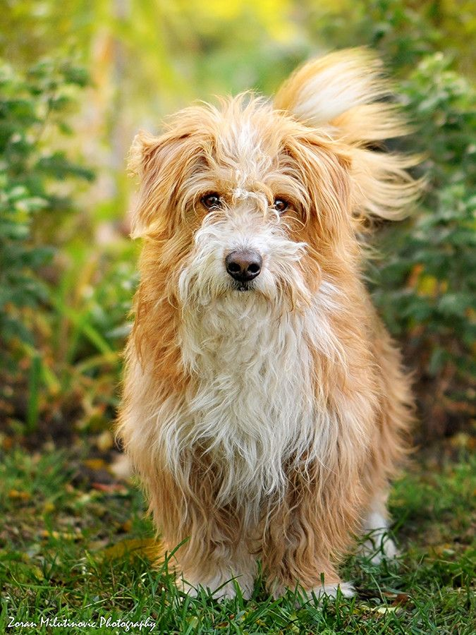 As far as the scruffy, shaggy dog category goes, this dog takes the cake when it comes to ultimate cuteness!