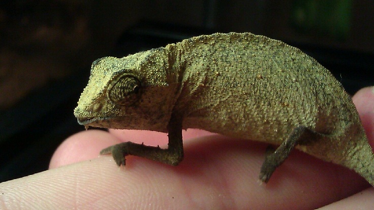 This Is My Male Bearded Pygmy Chameleon His Name Is Hernando The Pygmy Chameleons Are The Smallest Species Of Chameleon They Are Real Species Lizard Animals