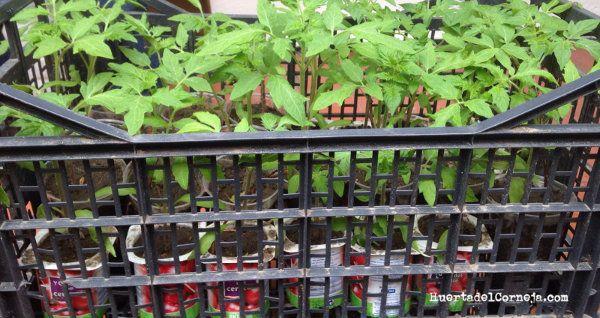 Tomates trasplantados