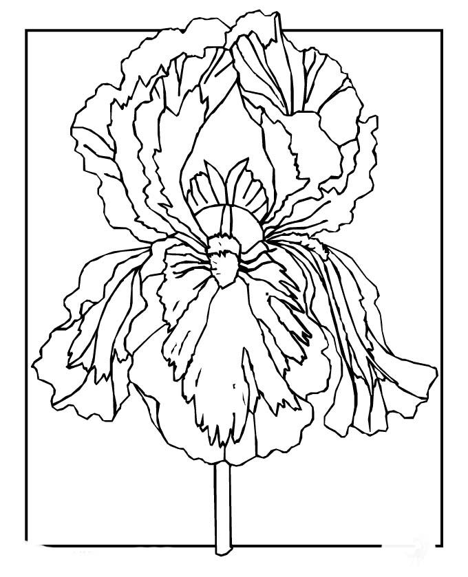 10 images about iris line drawings on pinterest for Iris flower coloring page