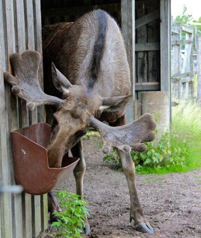 366 Best Moose Images On Pinterest Moose Decor Moose