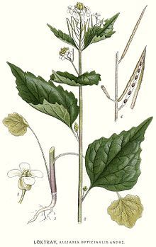 Alliaria petiolata (EN: garlic mustard; DE: Knoblauchsrauke). Edible leaves valued as seasoning. Long history of cultivation and use. Found throughout Europe, incl. British Isles and Scandinavia. NB: Invasive in N. America