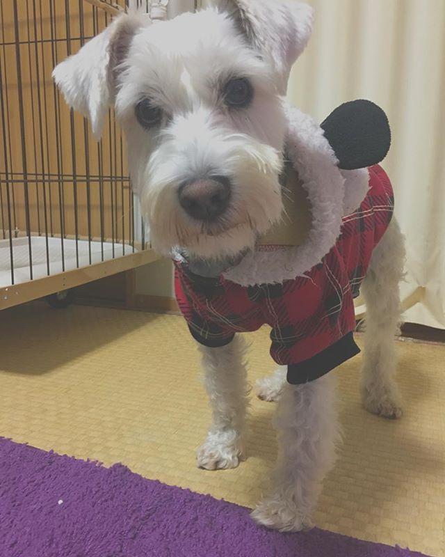 . . 我が家の末っ子 ぽこくん🐶🌈 . . 驚くほどに適応能力が高いです☝️ 空気を読んでくれます。 じっと目を見つめるし、無駄な後追いをしないから脱走もしません。  お犬様… 👀🙏 末っ子、やるな🎶💯🎶💯🎶💯🎶💯 . . #犬のいる暮らし #犬のいる生活 #犬バカ部 #dog #dogstagram #doglife #instagramdogs #instadog #犬 #🐶 #愛犬 #ミニチュアシュナウザー #シュナウザー #シュナスタグラム #シュナウザー部 #shcnauzer #多頭飼い #福島 #中型犬 #cute #love #instagood #instapic #l4l #f4f #犬好きな人と繋がりたい