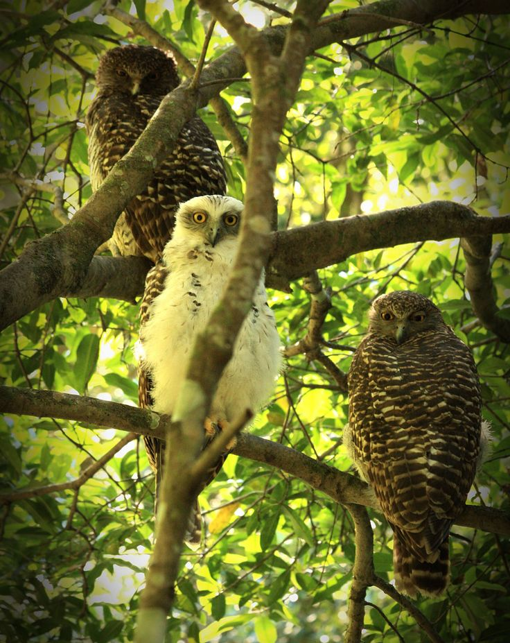 Two Powerful Owls and their baby, Lane Cove National Park, Sydney