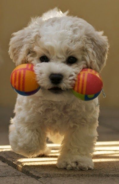 Top 10 Best Hypoallergenic Dog Breeds....link has now been blocked, but what a sweet photo!