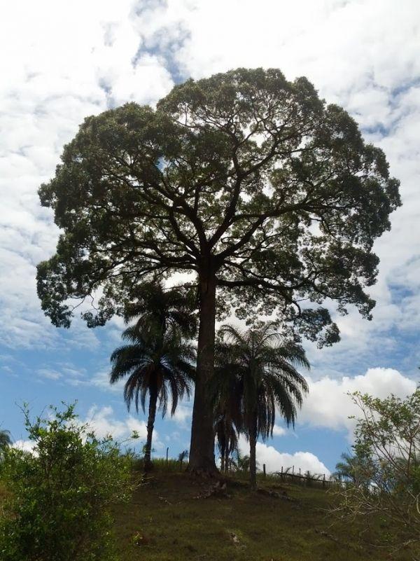 http://www.monumentaltrees.com/en/photos/29504/  Jequitibá tree along fazenda do salto, Presidente Bernardes, Brazil