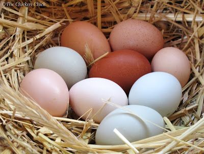Cool Egg Facts & Video of Hen Laying an Egg! ‹ Community Chickens