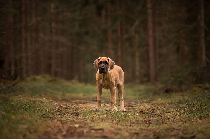 Dog photography. Poses. Grand Danois puppy. Forest. Swedish nature. By swedish photographer Maria Lindberg.