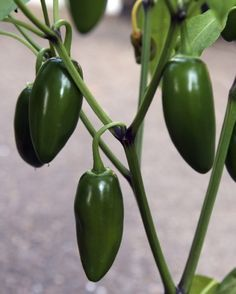 Jalapeno Plant Care: How To Grow Jalapeno Peppers - Jalapenos are the only pepper that is not allowed to fully ripen and change color before being picked. Growing jalapeno peppers is not difficult if you provide plants with proper conditions. Learn more in this article.