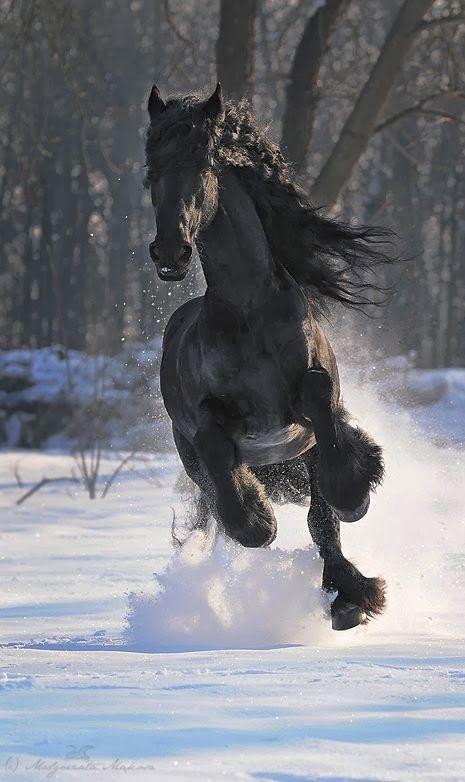 MY FAVORITE HORSE BREED (frisian)                                                                                                                                                                                 Más