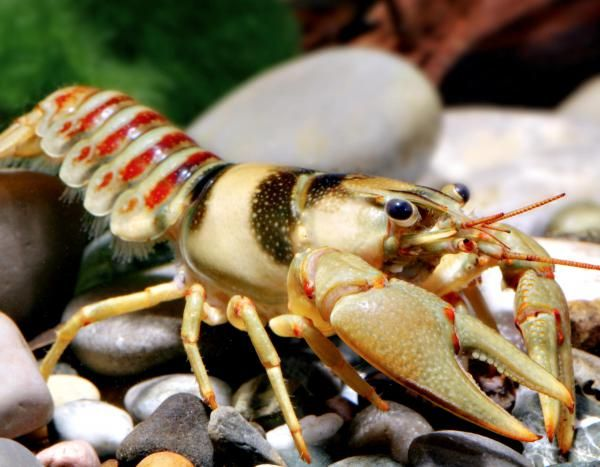 Belted Crayfish (Orconectes harrisoni) Missouri native This medium-small, tan crayfish—found only in the Big River and its tributaries—has a distinctive pattern of alternating olive-green and reddish-brown bands on the abdominal segments.