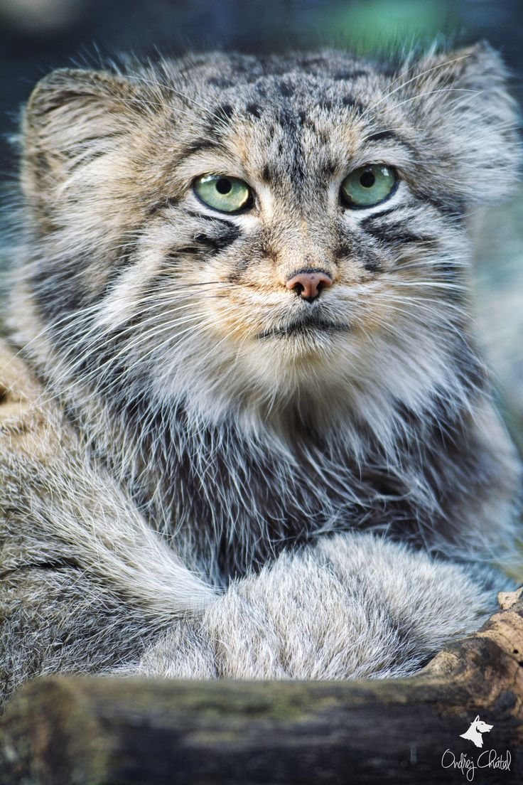 Manul is a wild cat that lives in the Asian steppes as high as 13,00 ft. It mainly can be found in India, western China and Mongolia, but also has been found in Afghanistan, Turkmenistan, and part of Siberia.