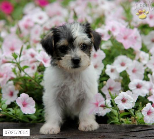 Puppies For Sale in Eldoret Kenya