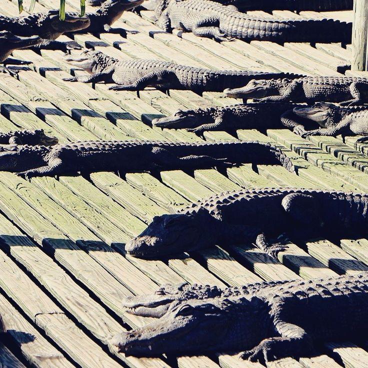 Eu acho que vi um crocodilinho.  (Ficou curioso? Isso é Kissimmee na Flórida.) . . . #EUA #USA #estadosunidos #visitusa #TasteUSA #VisitTheUSA #Kissimmee #florida #alligator #jacare #crocodilo #animal #animalplanet #travel #travelblogger #travelgram #travelphotography #instatravel #wanderlust #travelblog #traveltheworld #travelpics #travelphoto #viagem #turismo #dicasdeviagem #blogdeviagem #ferias #instacool