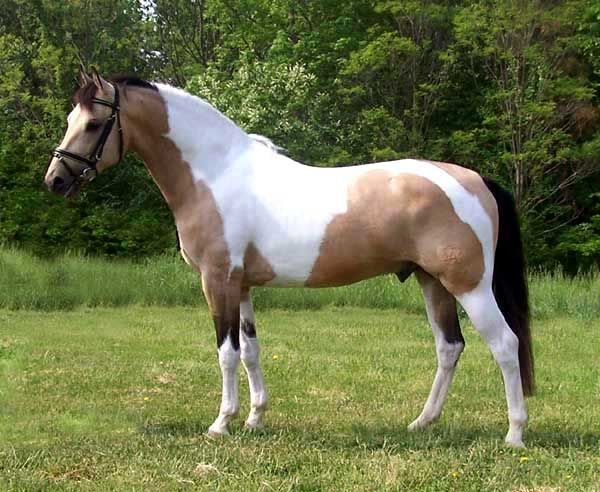 Buckskin Paint Horses For Sale In Oklahoma
