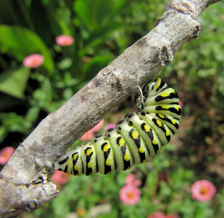 Black Swallowtail caterpillar attached to stick and