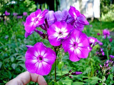 Каталог садовых растений, декоративные кустарники, однолетние растения, приусадебное хозяйство, цветоводство