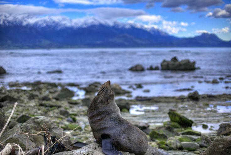 Seal Colony - Kaikoura