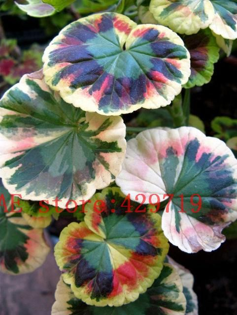 100 pcs rare japan Geranium Seeds Perennial Flower Pelargonium Peltatum Seeds Indoor Rooms for ornamental-plant Easy to grow