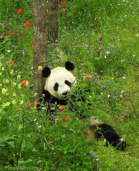 Panda (Ouwehands Dierenpark Rhenen, 2017)