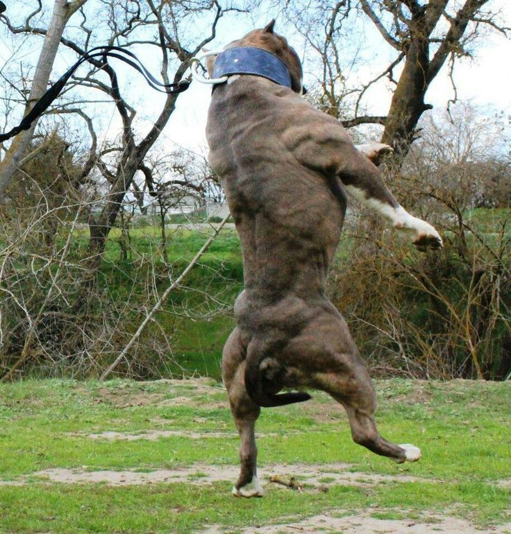 48 Best Images About The Biggest Muscle In A Pitbull Is It