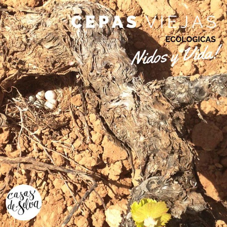 Pues este #nido nos hemos encontrado! en nuestras #cepas #viejas #ecológicas en la #sierradesalinas #Yecla #Murcia Pertenece a la familia de las #aves de los aláudidos, es decir, #cogujada común, cogujada montesina, alondra, #calandria etc. Estas aves presentan el mismo color de arena donde habitan, pudiendo incubar sus huevos en el suelo que es donde construyen sus niditos. No es precioso ver la #vida por doquier? :-) #aove y #vino #ecológico #sostenibilidad