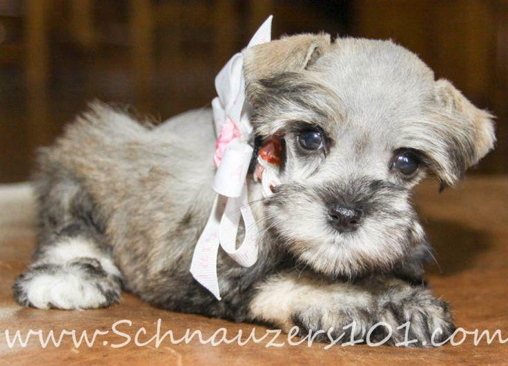 TeaCup & Mini Schnauzer Puppies for Sale Colorado | Mini Designer Puppys