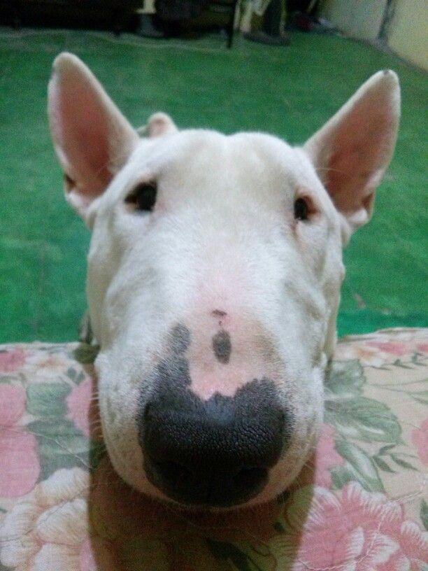 Morgan English bull terrier