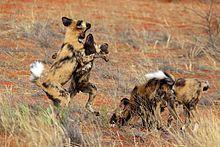 African wild dog - Wikipedia, the free encyclopedia
