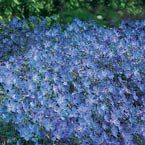 """Ground cover; Blue Fusion Everblooming Hardy Geranium  Vivid clear blue with tinged pink centers.    Hardy geraniums are low-maintenance perennials ideal for borders, rock gardens or as a colorful ground cover.    Product Information:  Light: Full sun to partial shade  Height: 12-18""""  Bloom Time: Summer  Size: Bareroot  Zones: 4 to 8"""