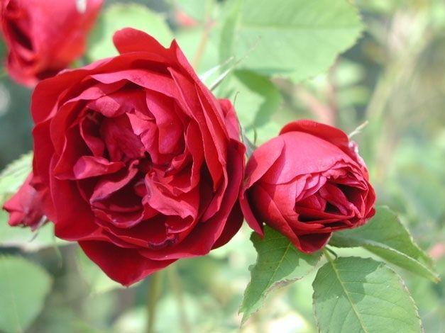 'Hope for Humanity', kanadensisk ros. Buskigt lågt växtsätt, 0,5-0,8 m. Dubbla 8 cm stora blodröda blommor i slutet på juni. Lätt doft.