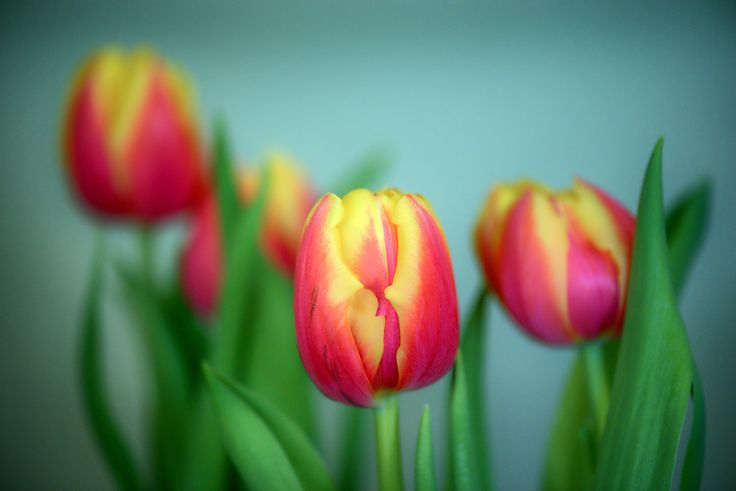 Tulips have a knack for spreading springtime joy. With its sparkling color and vitality, they are a sure sign that winter has lost and that we are heading towards a new warmer season.
