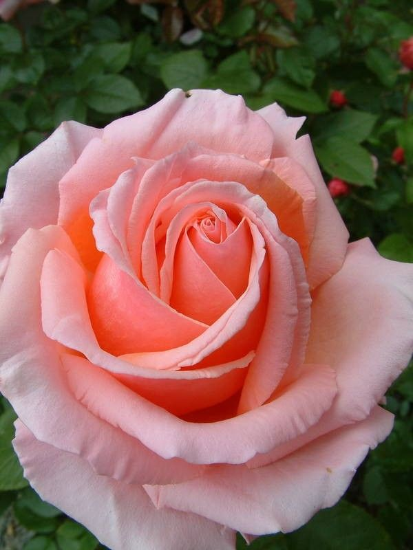 Kirkcaldie - Hybrid Teas - Old Garden Roses - Rose Catalog - Tasman Bay Roses - Buy Roses Online in New Zealand