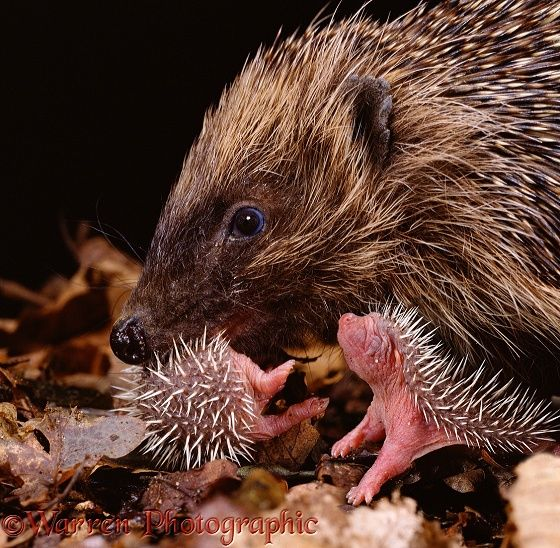 Mother hedgehog and babies