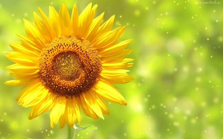 Żółty, Kwiat, Słonecznik