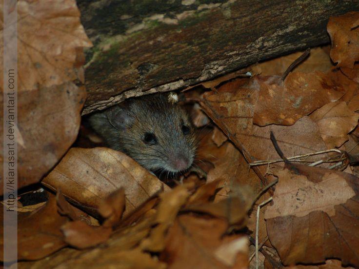 wild baby mouse by KIARAsART.deviantart.com